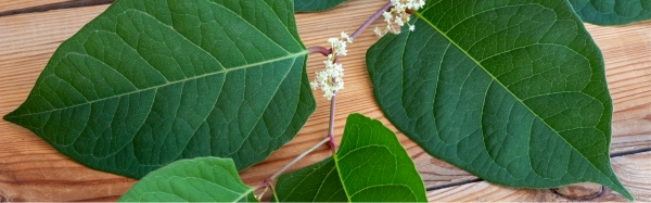 What should I do If I find Japanese Knotweed?