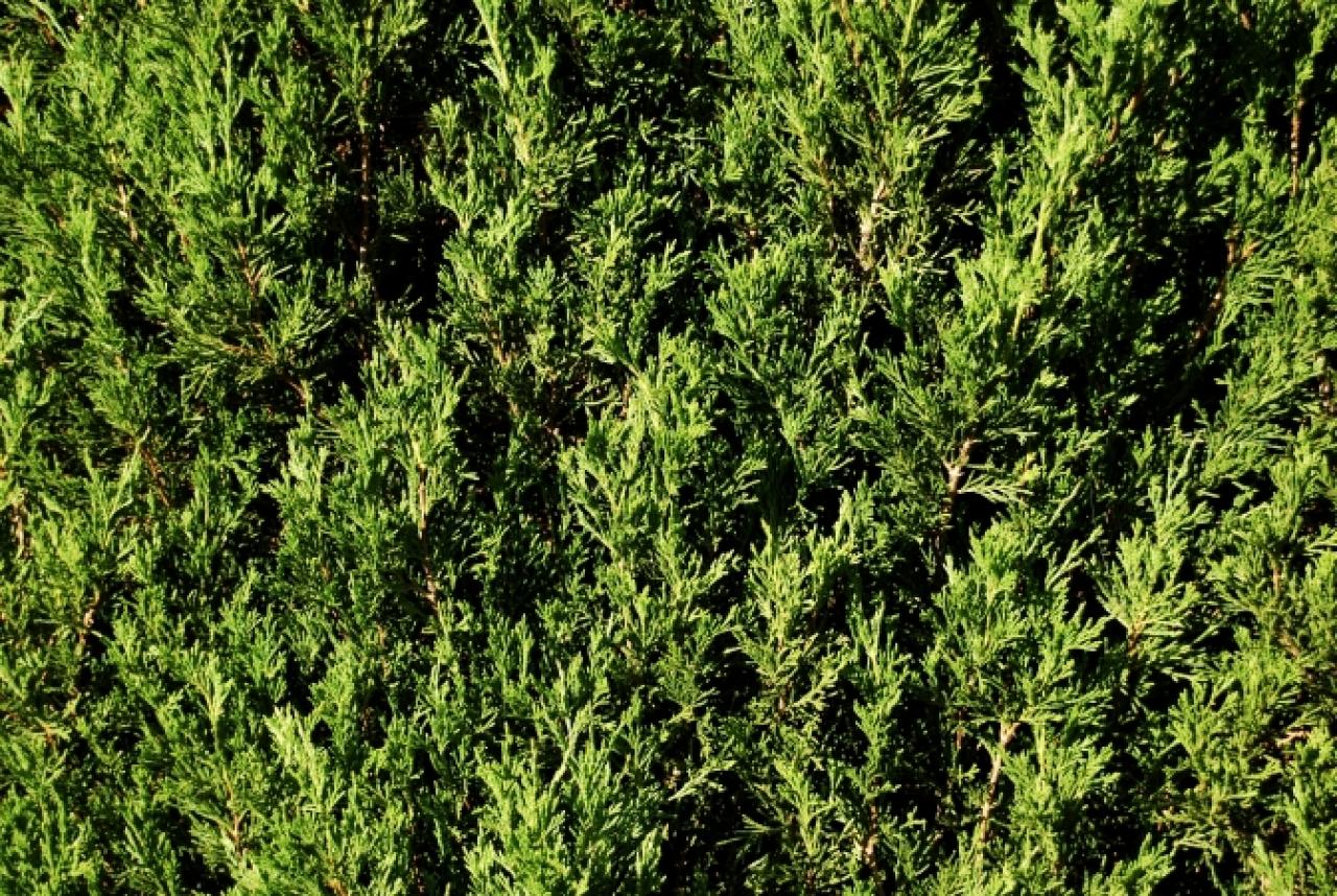LEYLANDII TREES / EVERGREE...